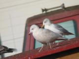 Kumlien's Iceland Gull-2nd Winter