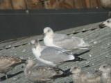 Kumlien's Iceland Gull-Third Winter