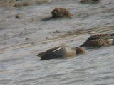 70% Common Teal