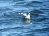 Little Gull-adult basic