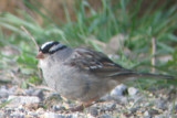 White-crowned Sparrow, eastern spp- leucophrys