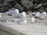 Common Gull-loafing in Brooklyn!
