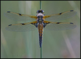Four Spotted Chaser / Viervlek