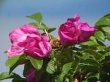 Roses, Rivière-Ouelle