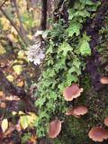 Lichen, St-Philémon
