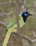 Green Jay normal color