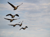 It's a bit out of focus, but geese don't pose.