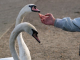 The swans are so tame, they were eating bread from this guy's mouth