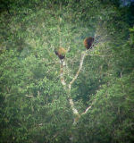 Red howler monkeys digiscoped  at the NWC
