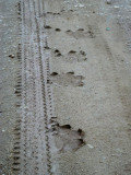 Hippo and human tracks