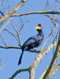Ross Turaco