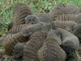 Banded Mongoose scrum