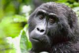Kibande - Adult female (Rushegura Group)