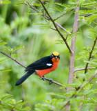 Flycatchers, sunbirds, gonoleks, and weavers