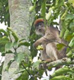 Central African Red Colobus