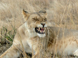 Big lion smile