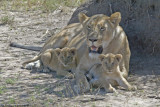 Lioness with 3 mo cubs