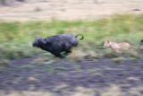 Lion chasing buffalo