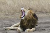 Lion Marsh Pride male yawn