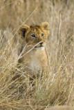 Lion cub from Marsh Pride