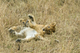 Lion cubs from Marsh pride