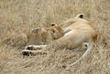 Lion Marsh Pride cub nursing