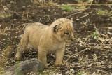 Lion cub 1 mo old