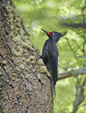 Magellanic Woodpecker Female