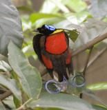 Wilsons Bird-of-Paradise