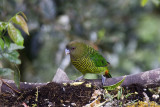Brehms Tiger-Parrot female