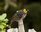 Smokey Honeyeater