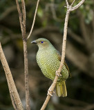 Satin Bowerbird female