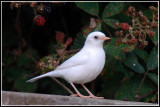 White Dunnock_D2X_5950.jpg