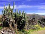 Cactus On Ruins Of Wiracocha Temple, Raqchi