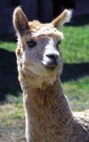 Llama Up Close