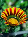 Pretty Peruvian Wild Flower