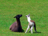 Llamas; Mamy And Kid In Machu Picchu