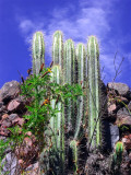 Natural Organ As Cactus On The Wall Of Wiracocha Temple, Raqchi