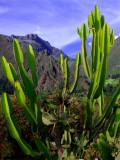 Cactus In Andes, Machu Picchu