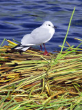 Chubby Gull On Totora Island, Titicaca Lake