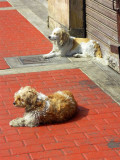Doggies Sunbathing, Lima
