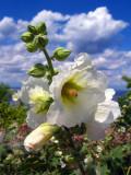 Cute Flower, Ica