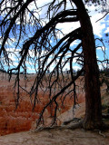 Tree In Bryce