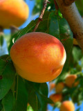 Peaches In Orchads Of Roussillion