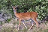 White-tailed Deer (Odocoileus virginianus) (female)