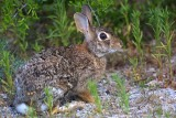 Cottontail Rabbit (Sylvilagus floridanus)