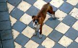 Perro ajedrecista