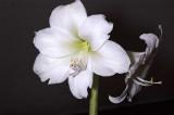 amaryllis0159j.jpg