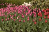 Caren's tulips