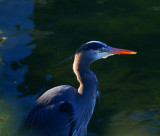 Birds Of S. E. Alaska